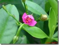 bunga ginseng mekar a07b
