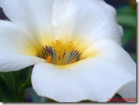 bunga mekar pagi 412