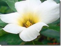 bunga mekar pagi 415