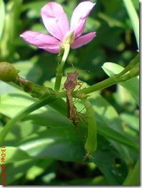 kumbang bercinta sampai puncak 1