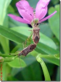 kumbang bercinta sampai puncak 3