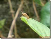 kumbang di pucuk daun ginseng