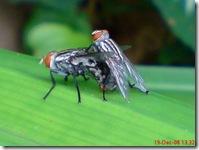 lalat bercinta 671