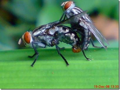lalat bercinta 674
