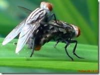 lalat bercinta 675