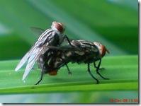 lalat bercinta 676