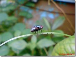 lalat hijau