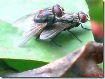 lalat rumah kawin 02