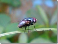 lalat hijau 2