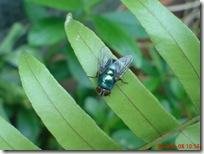 lalat hijau di daun suplir