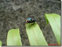lalat hijau di daun suplir 2