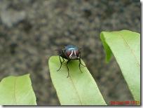 lalat hijau di daun suplir 3