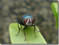 lalat hijau di daun suplir 3b