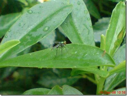 lalat kecil