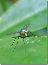 lalat kecil 2b