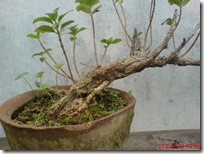 tapak dara bonsai 03