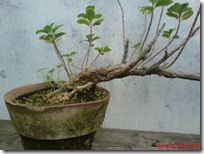 tapak dara bonsai 04