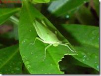 belalang hijau di daun ginseng