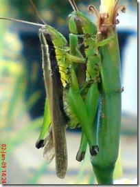 belalang kawin 1336