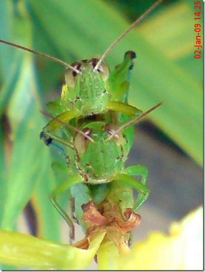 belalang kawin 1340