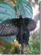butterfly 1587