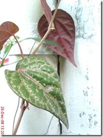 daun sirih merah 831