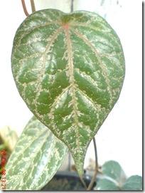 daun sirih merah 832
