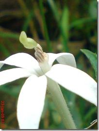 kembang putih 1684
