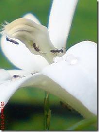 kembang putih 1892