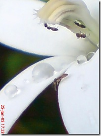 kembang putih 1896