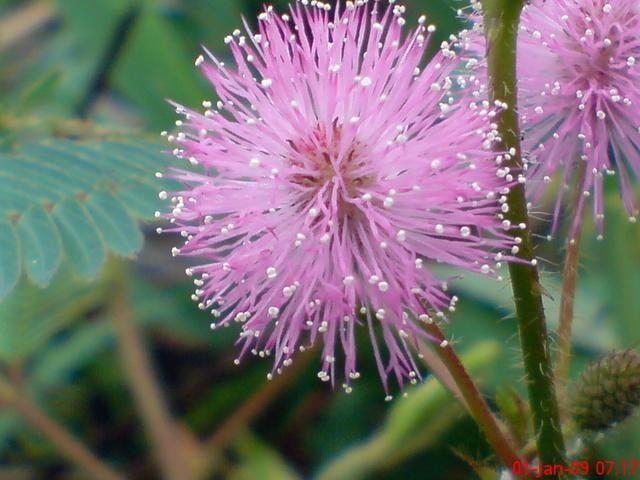 Praktikum bunga majemuk islamiardela sumber httpjepretanhapeleswordpress200901kembang putri malu 1062g ccuart Image collections
