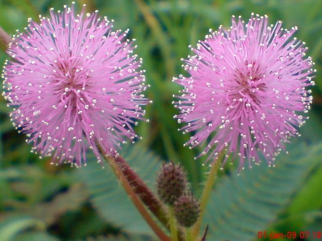ide gambar sketsa bunga putri malu asiabateav