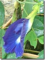 kembang teleng 1523