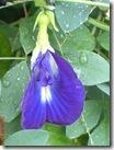 kembang teleng 1527