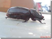 kumbang tanduk 912