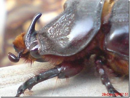 kumbang tanduk 919