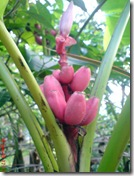 pisang merah 1591