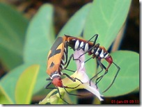 serangga kawin 1175