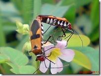 serangga kawin 1176