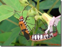 serangga kawin 1177