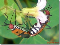 serangga kawin 1181