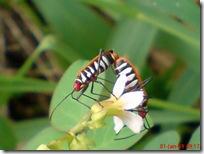 serangga kawin 1182