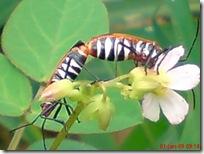 serangga kawin 1184