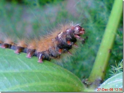 Attack of the Silkworm Feather/Caterpillars (Desiciria inclusa)