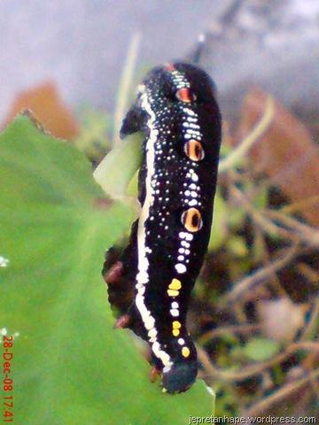 http://jepretanhape.files.wordpress.com/2009/01/ulat-di-pohon-keladi-963.jpg