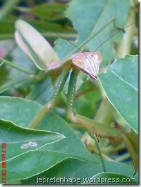 belalang sembah 2475