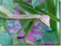 belalang sembah 2477