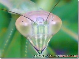 belalang sembah 2479