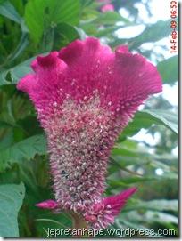 bunga jengger ayam 2830