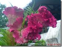 bunga jengger ayam 2831